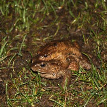 Kurbağaların 5 bin yıllık üreme göçü başladı